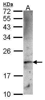 Ferritin Heavy Chain Antibody (PA5-27500) in Western Blot
