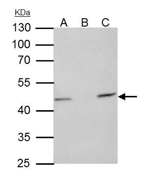 TUFM Antibody (PA5-27512) in Immunoprecipitation