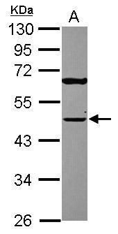 TUFM Antibody (PA5-27512) in Western Blot