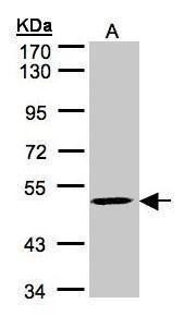MAZ Antibody (PA5-27524) in Western Blot