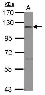 eIF3c Antibody (PA5-27527) in Western Blot
