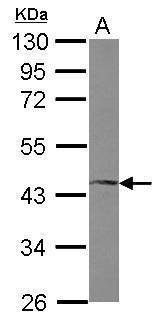 FosB Antibody (PA5-27530) in Western Blot
