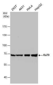 Ku70 Antibody (PA5-27538) in Western Blot