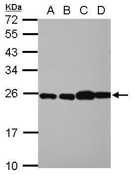 RPL29 Antibody (PA5-27545) in Western Blot
