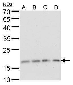 RPS15 Antibody (PA5-27546) in Western Blot
