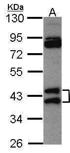 hnRNP AB Antibody (PA5-27549) in Western Blot