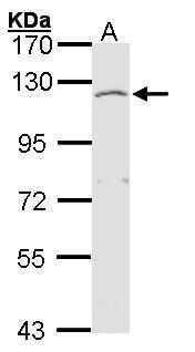 EXTL3 Antibody (PA5-27573) in Western Blot