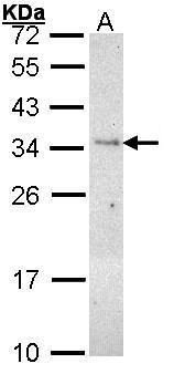 PLSCR3 Antibody (PA5-27590) in Western Blot