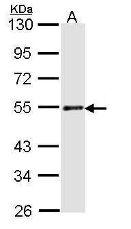 RAD23A Antibody (PA5-27599)