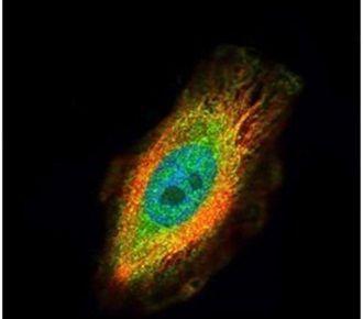 TRIM27 Antibody (PA5-27603)