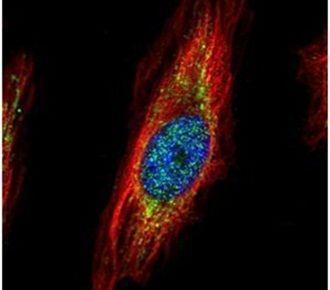 TRIM27 Antibody (PA5-27619) in Immunofluorescence
