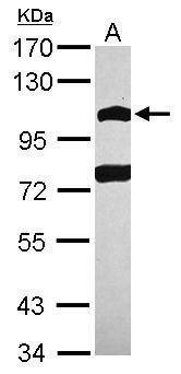 POM121 Antibody (PA5-27623)