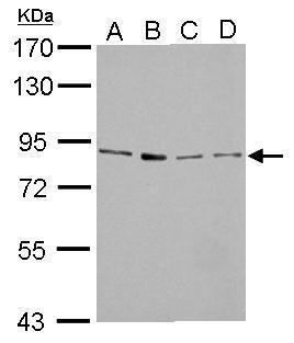 FOXM1 Antibody (PA5-27631) in Western Blot