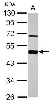 MEK2 Antibody (PA5-27635) in Western Blot