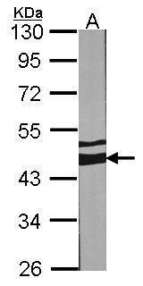 MEK2 Antibody (PA5-27640) in Western Blot