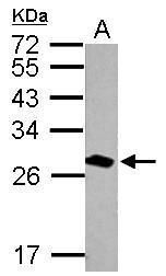 14-3-3 theta Antibody (PA5-27641) in Western Blot