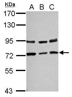 NGFR Antibody (PA5-27656) in Western Blot