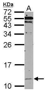 HSPE1 Antibody (PA5-27668)