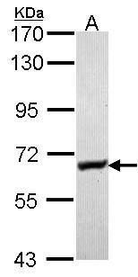 Glycerol kinase Antibody (PA5-27669) in Western Blot