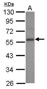 E2F3 Antibody (PA5-27670)