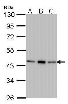 AHA1 Antibody (PA5-27672) in Western Blot