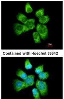 AHA1 Antibody (PA5-27674) in Immunofluorescence