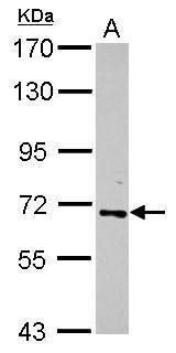 RelB Antibody (PA5-27678) in Western Blot