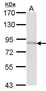 FAF1 Antibody (PA5-27687) in Western Blot