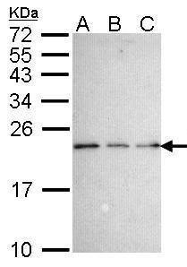NGFRAP1 Antibody (PA5-27690) in Western Blot