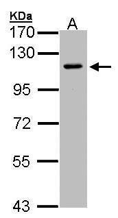 Neuropilin 2 Antibody (PA5-27697)