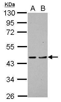 PDCD2 Antibody (PA5-27703)