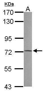 PRODH Antibody (PA5-27706) in Western Blot