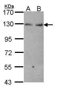 K-cadherin Antibody (PA5-27722)