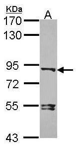 DVL3 Antibody (PA5-27723) in Western Blot