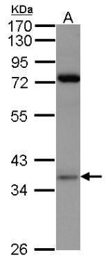 PRPS1 Antibody (PA5-27749) in Western Blot