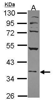 NFE2 Antibody (PA5-27762) in Western Blot