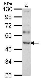 WTAP Antibody (PA5-27764) in Western Blot