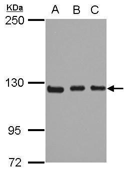 ITGA9 Antibody (PA5-27771) in Western Blot