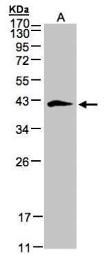 Biglycan Antibody (PA5-27781) in Western Blot