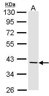 Fibromodulin Antibody (PA5-27784) in Western Blot