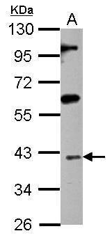 ISL1 Antibody (PA5-27789) in Western Blot