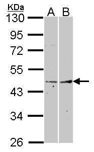 Fibromodulin Antibody (PA5-27796)