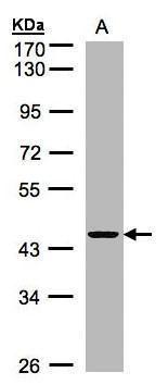 ZNF134 Antibody (PA5-27800) in Western Blot