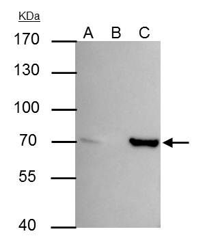 SHP-1 Antibody (PA5-27802) in Immunoprecipitation