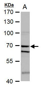 SHP-1 Antibody (PA5-27802) in Western Blot