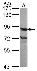 Nuclear Matrix Protein p84 Antibody (PA5-27816) in Western Blot