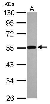 p53 Antibody (PA5-27822) in Western Blot