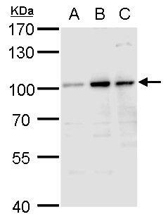 Aconitase 1 Antibody (PA5-27824)