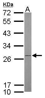 ATP Synthase B1 Antibody (PA5-27826) in Western Blot