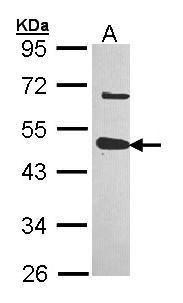 USP18 Antibody (PA5-27849) in Western Blot